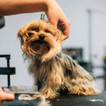 Red and black terrier getting a haircut
