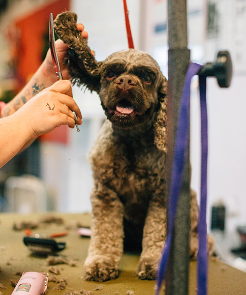 Poodle mix getting a haircut