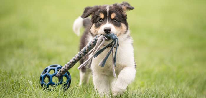 Puppy pulling a toy in the grass