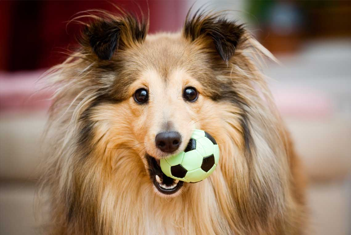 Sheltie with a toy in her mouth