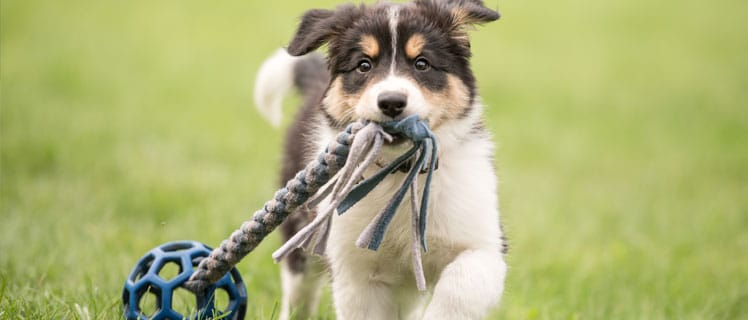 Puppy pulling a toy